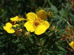 Potentilla fruticosa, Strauch-Fingerkraut (julia_HalleFotoFan) Tags: rosaceae potentilla potentillafruticosa fingerkraut rosengewchs strauchfingerkraut