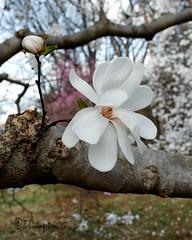 Loebner Magnolia (Bruce Livingston) Tags: newjersey nj arboretum magnolia morristown frelinghuysenarboretum morriscounty frelinghuysen loebnermagnolia nikon60mmf28gmicro d800e nikon20mmf18g