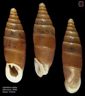 isabellaria vallata grece 14mm9
