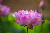 荷花 (Yi-Liang Lai) Tags: flowers beautiful canon lotus bokeh taiwan kaohsiung 台灣 高雄 荷花 蓮花 散景 前鎮 canon6d 草衙 胖白