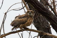 A wet but cute Great Horned Owl owlet