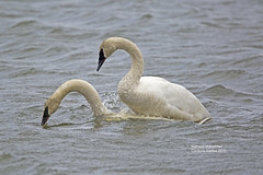 How to make baby swans 2_2I1A0916 (bud_marschner) Tags: alaska mating cordova trumpeterswan
