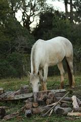 (Joo Andriola) Tags: horse caballo cavalo fazenda entardecer lenha machado estncia cabanha tordilho tordillo