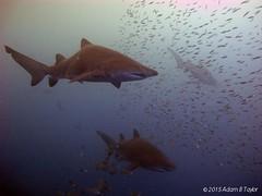 20120207-IMG_0303_2 (a_dam_taylor) Tags: shark underwater greynurseshark