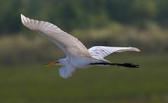 05-18-15-0862.jpg (Lake Worth) Tags: bird nature birds animal animals canon wings florida wildlife feathers wetlands everglades waterbirds southflorida 2xextender sigma120300f28dgoshsmsports