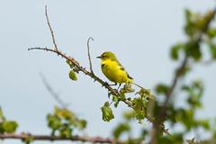 Yellow Wagtail (warren hanratty) Tags: bird gloucestershire yellowwagtail motacillaflava wildbird warrenhanrattyphotography