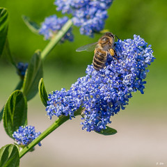 IMGP4518-Modifier-2 (Stphane Slo) Tags: fleurs de bokeh extrieur abeille champ profondeur pollinisation