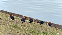 DSC_0140 copia (giuli.flaccomio) Tags: park parco lake see chicks dusseldorf düsseldorf gallinelladacqua küken pulcini gallinella