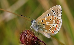 Adonis Blue 240816 (3) (Richard Collier - Wildlife and Travel Photography) Tags: wildlife naturalhistory macro butterflies insects british adonisblue