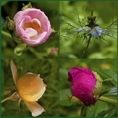 9. Juni 2016: berall Regentropfen (Gertraud-Magdalena) Tags: frhling juni garten garden giardino raindrops pfingstrose rose rosa jungfrauimgrnen regentropfen