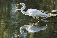 Fishing with precision tools (beyondhue) Tags: mud lake egret white fishing catch fish beyondhue ottawa ontario autumn fall canada water wildlife