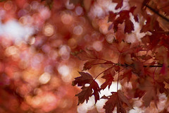 The Leaves of Autumn (WilliamND4) Tags: autumn leaves meyeroptikgoerlitztrioplanf28100lens nikon d810 bokeh red