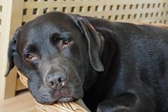 tired (Suzanne's stream) Tags: cesar chocolate labrador dog male pet hund senior