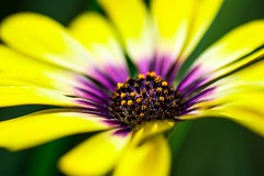 Yellow and purple flower on a green background (dider63) Tags: ifttt 500px bokeh composition et type de photo concepts continents pays europe fleurs flowers france green jaune macro mots cls gnriques natural nature faune naturel vert yellow
