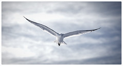 Spread seagull (beezelite) Tags: border wildlife seabirds longbeach nature outdoor ny nikon sigma artlens explore
