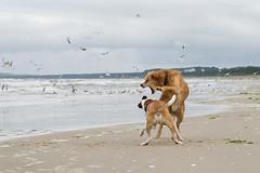 wild things (Jutta Bauer) Tags: edgaralbert dogs playing beach wild friends