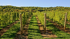 Vine To Wine (thetrick113) Tags: sonyslta65v warrencountynewjersey fall autumn autumn2016 hdr agriculture ag farm grapes grapeplant post wire wine vineyard plant dicot albavineyard albavineyardwinery