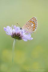 FP2016__16_7905S2.jpg (Fernando.P.Photo) Tags: macro nature papillon proxy