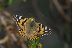 Painted Lady (finor) Tags: sony alpha a6000 ilce6000 sal70400g2 butterfly insect nature paintedlady vanessacardui distelfalter italy elba