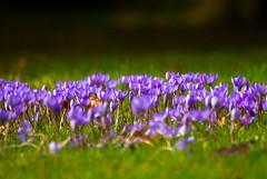 spring in autumn (markhortonphotography) Tags: kew surrey autumncrocus markhortonphotography gardens royalbotanicgardens grass thatmacroguy kewgardens crocus