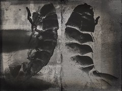 Tail(s)-8805 (Poetic Medium) Tags: diptych moldiv stilllife blackandwhite kitcamghostbird organic mextures ipod lobster food