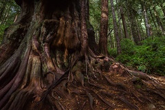 Gnarly Tree (Carrie Cole Photography) Tags: avatargrove bc bigtrees britishcolumbia canada carriecole landscape pacificnorthwest portrenfrew travel victoria westcoast forest gnarled gnarly hiking nature oldgrowth oldgrowthforest outdoors scenic tourism trees vancouverisland wildrenfrew