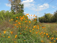 butterflies galore - today's late afternoon sun (Vicki's Nature) Tags: video 9942 butterflies monarchs gulffritillaries buckeye orange cosmos wild wildflowers hot etowahriver georgia vickisnature canon s5