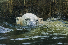 Swimmer (Petr Skora) Tags: zoo prague praguezoo nature animal bear polarbear water swim