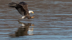 Stretching Those Talons Out (Ken Krach Photography) Tags: eagle maryland