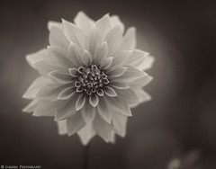 Yesteryear's Dahlia (mjardeen) Tags: sony a7ii a7m2 tacoma wa washington olympus 100mm ƒ2 zuiko om olympus100mmƒ2zuikoom flower bw black white toned on1effects on1 petals bokeh dof dahlia soft blossom plant serene macro pattern texture petal