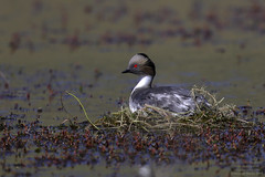Home leave -Silvery Grebe-Blanquillo (Podiceps occipatalis) Torres del Paine, Chile 2015-12 (Ricardo Bitran) Tags: podicepsoccipatalis silverygrebe blanquillo torresdelpaine chile birdsofchile birdsofpatagonia birdsoftorresdelpaine