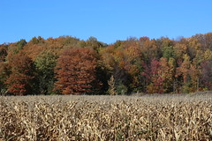 Corn field with fall foliage in the background (pegase1972) Tags: tree foliage autumn field corn fall nature landscape quebec qubec canada qc monteregie montrgie licensed shutter