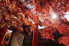Autumn colors (Teruhide Tomori) Tags: kayedemaple autumn japan japon kyoto shimogamoshrine red