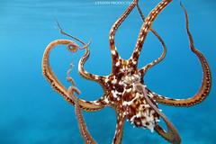 IMG_0072 copy (Aaron Lynton) Tags: spanish dancer snorkel scooter maui hawii hawaii canon g1x spanishdancer turtle honu tako octopus ocean animals papio yellowspotpapio starfish