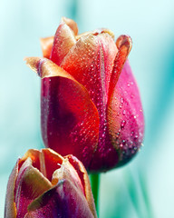 Garden variety Tulips Explored! (hz536n/George Thomas) Tags: canon 5d george thomas 2016 april cs5 ef100mmf28lmacroisusm oklahoma spring canon5d copyright macro nature stillwater droplet water georgethomas explored explore