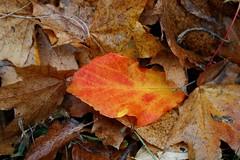 outsider (mkk707) Tags: nikonultronstyle nikond100 voigtlnderultron40mmf2sliiasph cosina closeup leaf autumn macro closeuplens manualfocusing brown red orange foliage herbstlaub laubfrbung
