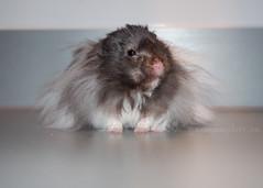Pi (.annajane) Tags: pi pet hamster syrianhamster cute fluffy furry mesocricetusauratus floof
