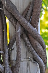 twisted (ladybugdiscovery) Tags: vine twisted twisting wrapped post wisteria