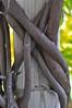 twisted (ladybugdiscovery) Tags: vine twisted twisting wrapped post wisteria