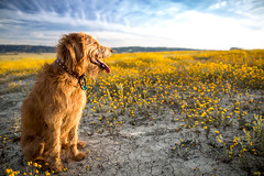 Oscar Carrizo Plain (Jeffrey Beringer) Tags: labradoodle oscar wildflowers wild flowers plain ca carrizo dog sunset romance science shows sports style syndicated local top video tv tak berkategori the big lead thoughts travel weather world features film gallery genel health media mma junkie ncaaf photos spanning sec technology usa today