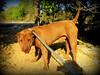 zuki male 'sharpei'x (iravande) Tags: apasa dogs dogpound rescuedogs javea spain nokillshelter perros perrera pets sharpei mixture male