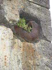 ** Collioure... la magnifique... ** - 32 (Impatience_1) Tags: verdure greenery rocher rock impatience saveearth supershot coth paritaire cassepierre percemuraille pinarddesmurailles parietariaofficinalis easternpellitoryofthewall lichwort alittlebeauty abigfave sunrays5 coth5