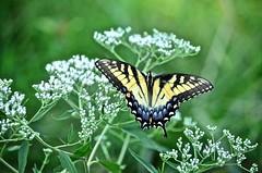 Eastern Tiger Swallowtail (female-light form) (deanrr) Tags: butterfly easterntigerswallowtail nature outdoor wildflower alabama morgancountyalabama bokeh
