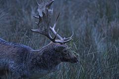 Deer at dusk (Tambako the Jaguar) Tags: deer male buck dusk dark blue grass profile portrait antlers parcanimalier saintecroix park parc rhodes zoo france nikon d5