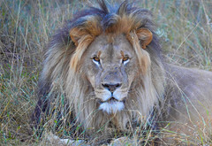 King Of Beasts (Butch Osborne) Tags: awesome amazing adventure fabulous vacation bucketlist beautiful wild wildlife lion king southafrica animal hunter cat bigfive puravida nature eyes kingofbeasts scenic digitalefotografie nikon fantastic grandcircletravel iinteresting safari lifeisgood mustsee outdoor magnificent