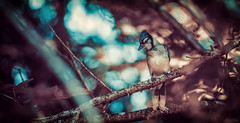 """Dapper J"" (limebluphotography) Tags: bird bluejay feathers beak talons style dapper suave forest color flight wings nature beauty music song limebluphotography camera canada newyork paris milan moscow travel weather photography professional light bokeh wildlife"
