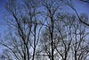 Naked Trees (Litratistica Images NYC) Tags: blueskies branches clouds trees twigs canon canoneos5dmarkii canonef70200mmf28lis