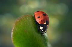 Mariquita (hequebaeza) Tags: insecto insect mariquita ladybug coccinellidae nikon d5100 nikond5100 3570mm tubosdeextensión macro hequebaeza macromondays beatlesbeetles