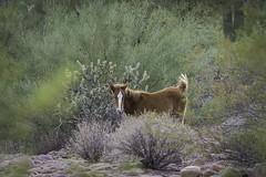 HorsesSaltRiver1-2890 (hubertstevecole) Tags: arizona bushhighway hubertstevecole mustangs nature river saltriver scenic water wildhorses wildlife tontonationalforest