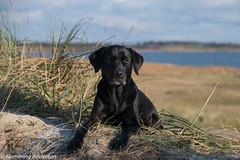 _FAN0731.jpg (Flemming Andersen) Tags: labrador black dog nature water outdoor buddy retreiver animal blackdog vestervig northdenmarkregion denmark dk